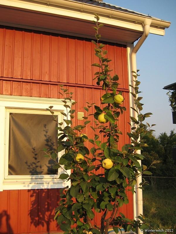 junger Quittenbaum mit Fr�chten vor unserem Haus